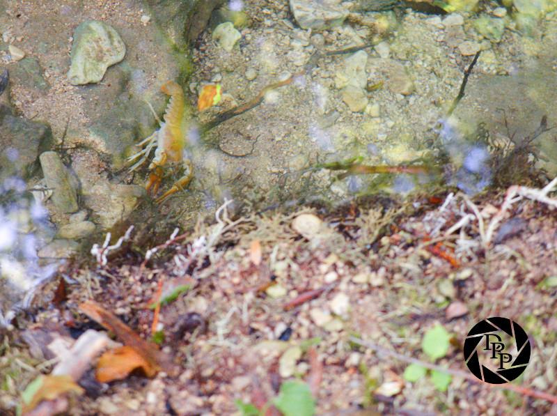 Gambero di fiume nelle acque di Cineto Romano